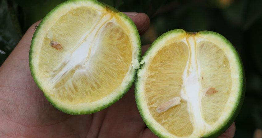 Campanha alerta para epidemia de greening na região de Tabapuã (SP)
