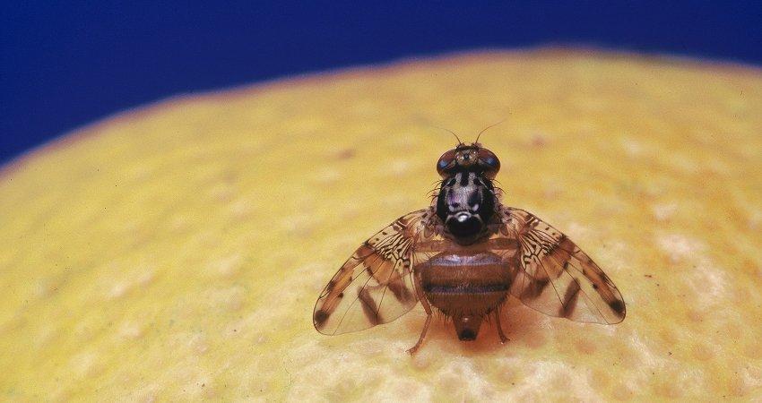 Resultado de imagem para mosca-da-fruta