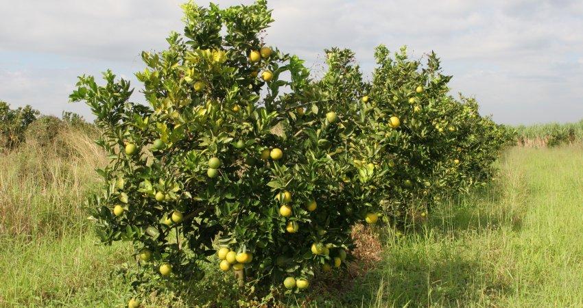 Fundecitrus realiza curso de HLB em Limeira nesta quinta