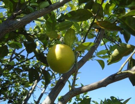 Temperatura alta diminui multiplicação da bactéria do HLB nas plantas de citros