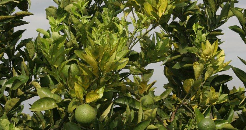 Relatórios de inspeção do cancro cítrico e greening devem ser informados até 15 de julho