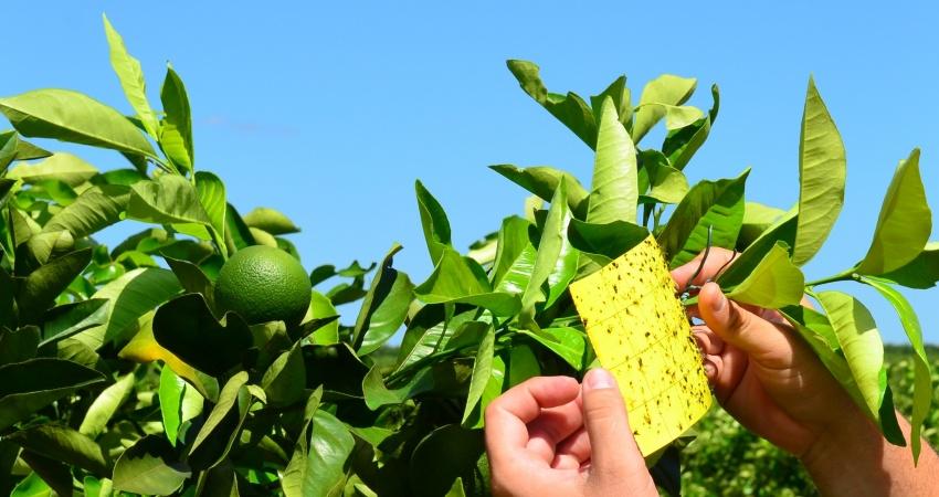 Armadilha adesiva detecta até 90 vezes mais psilídeos do que método visual em áreas com controle químico