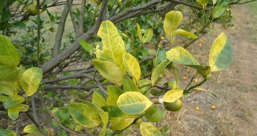 Greening causou incremento de 85% nos custos de produção de citros da Flórida (EUA)
