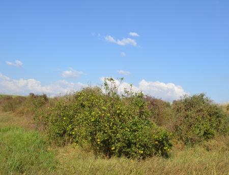 Parque citrícola tem 2% de área com pomares abandonados