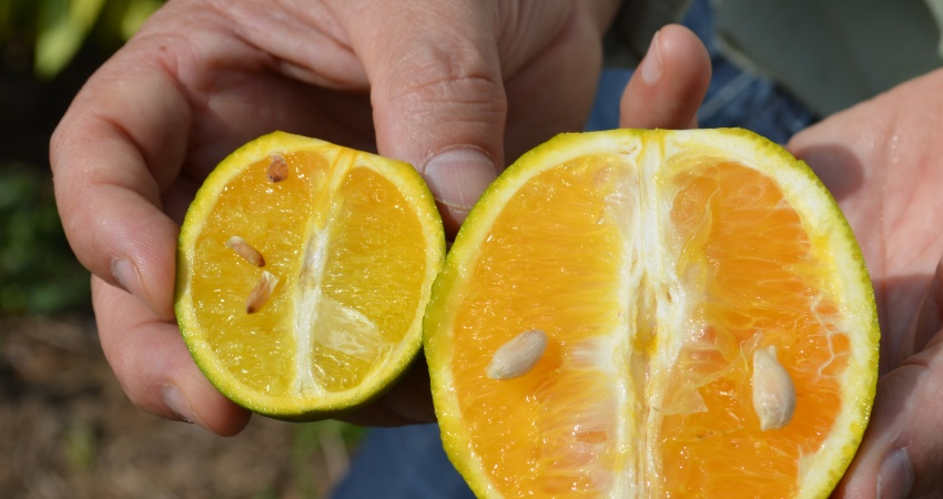 Pior praga da citricultura, greening é ameaça à produção de laranja brasileira