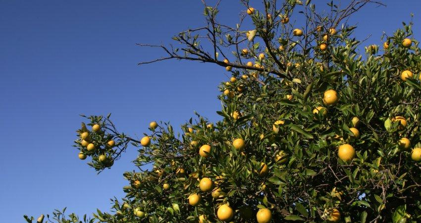 Confirmando tendência de queda, CVC afeta apenas 2,89% dos pés de laranja de SP e MG