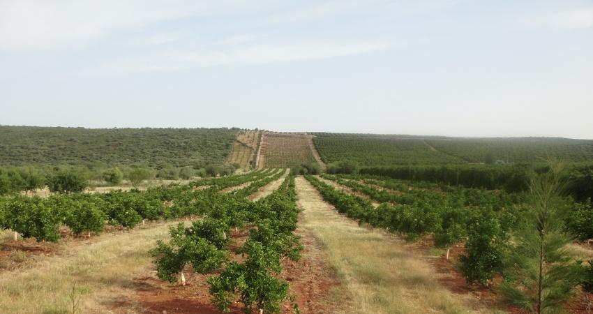 Portugal tem 20 mil hectares de citros e foi o responsável pelo início do cultivo da cultura no continente no século XVI