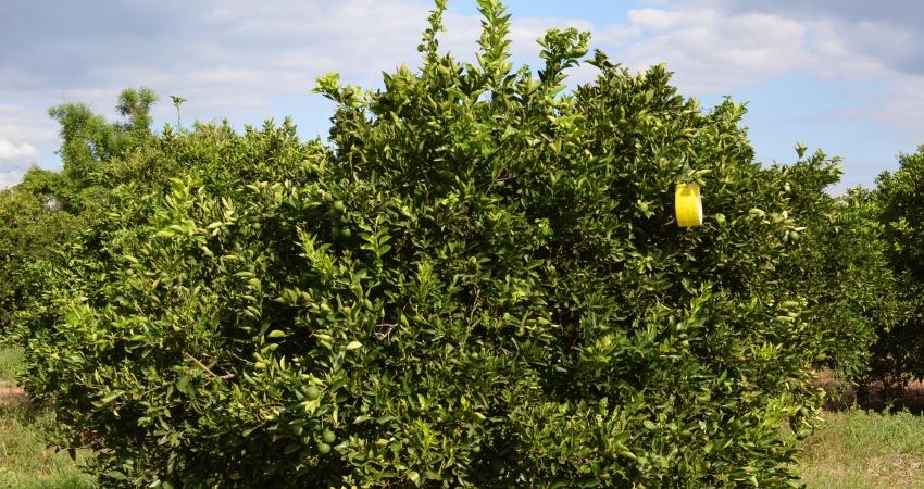 Reduzir o tamanho das armadilhas de monitoramento de psilídeo prejudica o controle de greening
