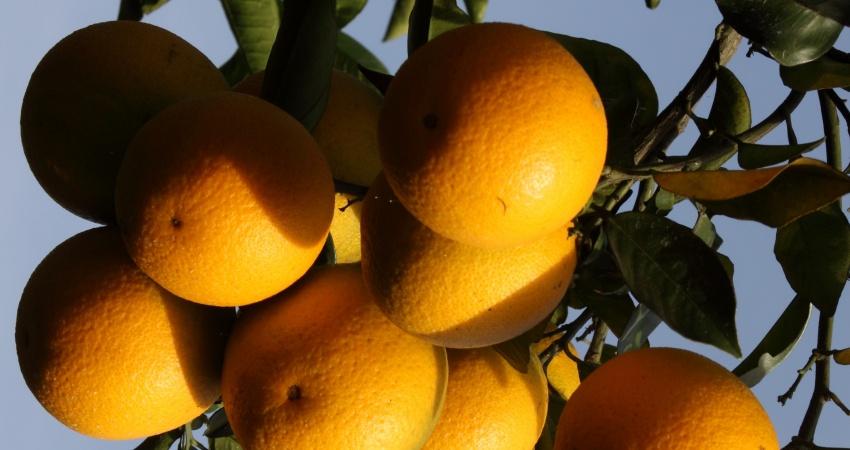 Fundecitrus reestima safra da laranja 2017/18 em 385, 20 milhões de caixas
