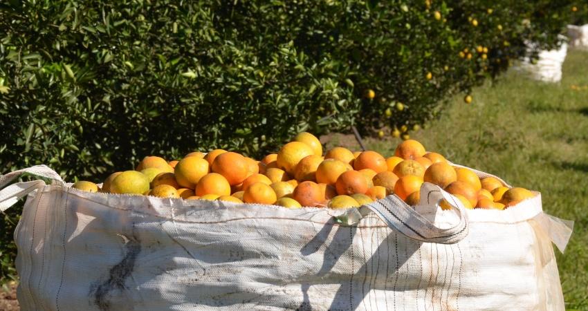 Safra de laranja é mantida em 244,20 milhões de caixas no parque citrícola de São Paulo e Minas Gerais