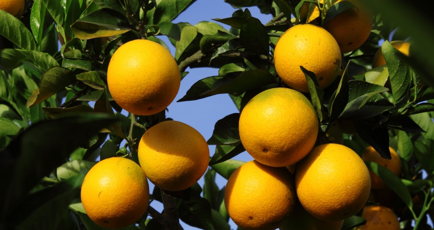 Safra da laranja 2017/18 é estimada em  364,47 milhões de caixas