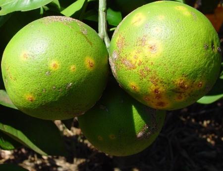 Fundecitrus faz Dia de Campo de cancro cítrico para citricultores paulistas e paranaenses