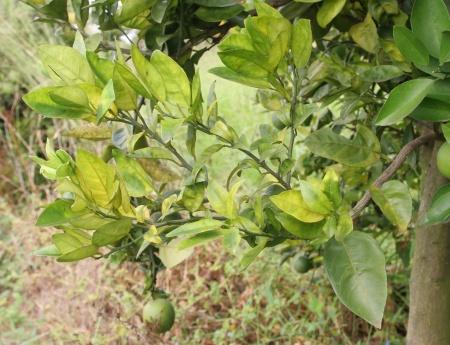 Greening atinge 18% dos pés de laranja