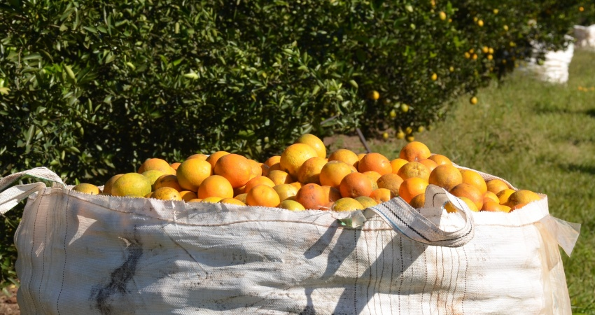 Fundecitrus divulga estimativa da safra de laranja 2017/18 em 10 de maio