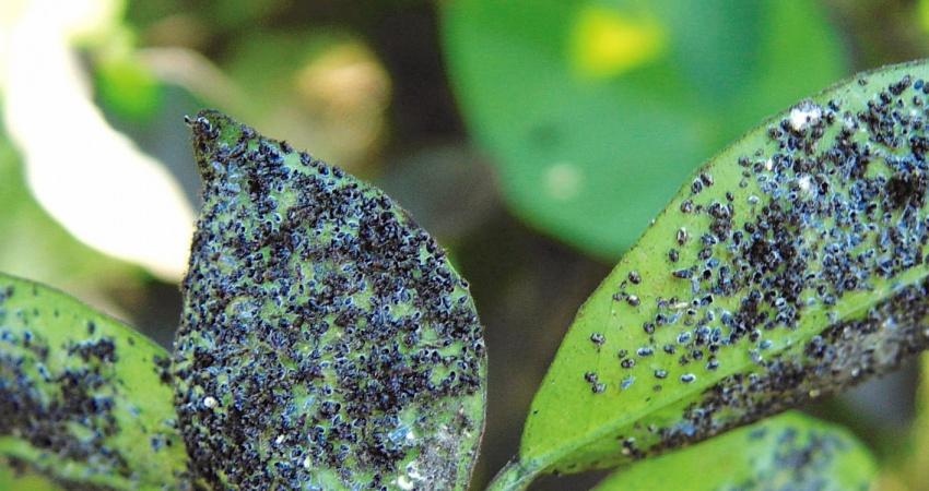 Conheça as medidas de controle da mosca negra, praga que pode causar  a morte das laranjeiras