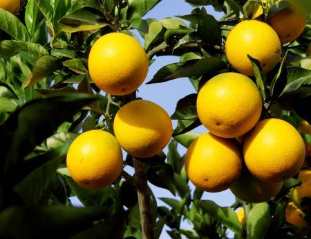 Safra da laranja 2015/16  é reestimada em 289,92 milhões de caixas