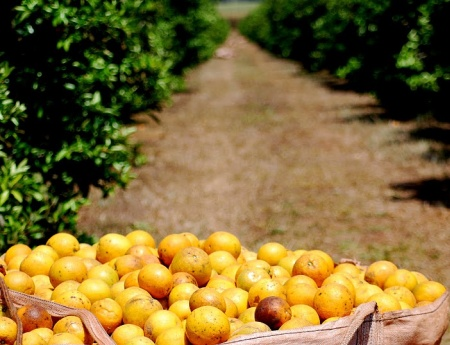 Safra da laranja é estimada em  245,74 milhões de caixas