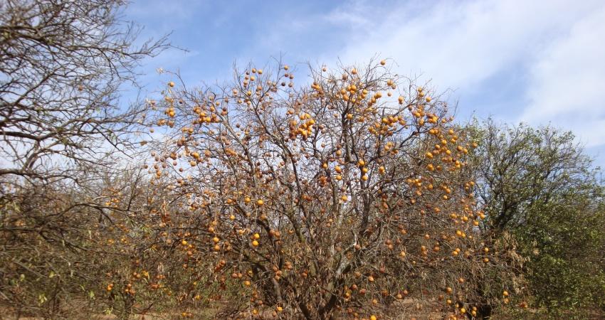 Casos de morte súbita são relatados em pomares de laranja da região  norte e noroeste de São Paulo