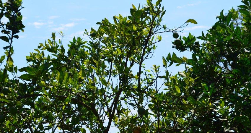 Região de Limeira é a mais contaminada pelo greening  em todo o cinturão citrícola de SP e MG