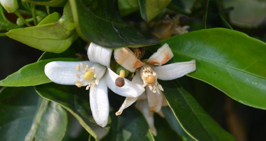 Sistema de previsão alerta para risco extremo de podridão floral
