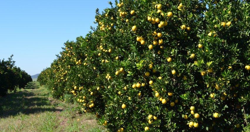 USDA aponta queda de 8% na safra de laranja 2017/18 da Flórida (EUA)