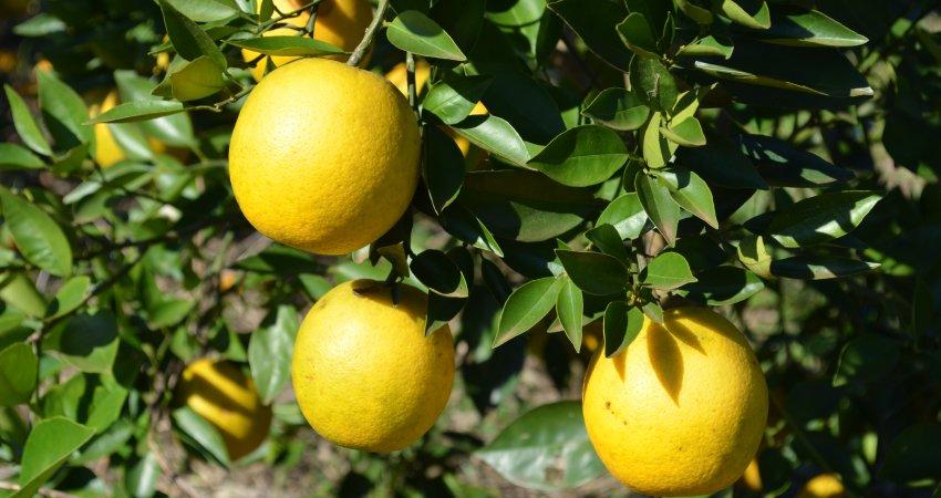 Uma única árvore em seu quintal pode prejudicar a citricultura local