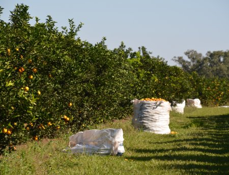 Citricultura paulista fecha safra 2015/2016 com 300,65 milhões de caixas de laranja