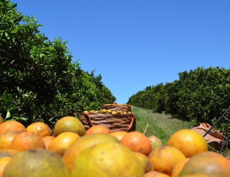 Reestimativa: Safra de laranja se mantém dentro do estimado