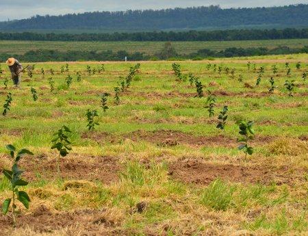 Plantas transgênicas são testadas no campo