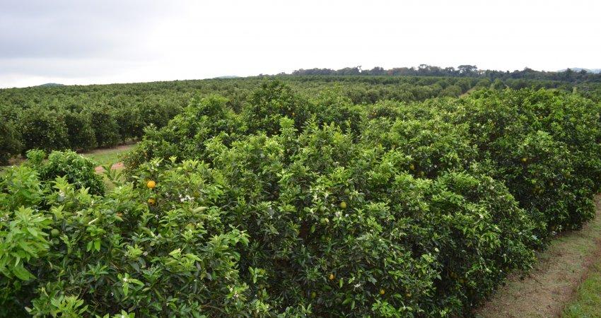 Safra de laranja da Flórida deverá ser de 70 milhões de caixas