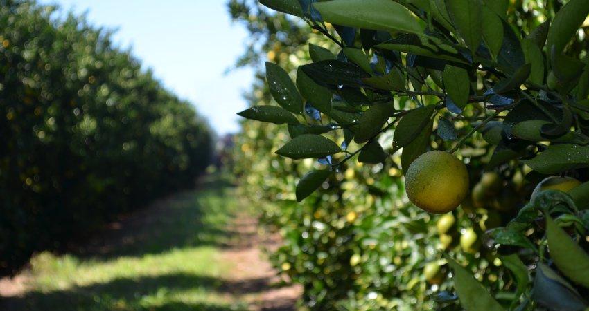 Agentes visitaram 25% do parque citrícola nos últimos 45 dias para atualização do inventário de árvores
