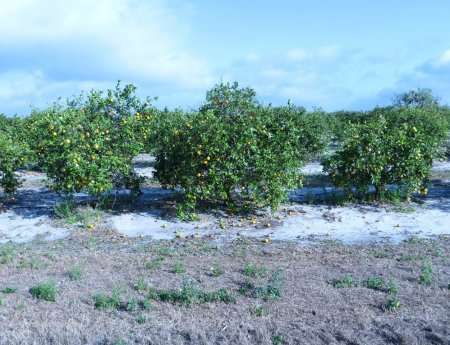 Estimativa de safra de laranja na Flórida sobe para 81,1 milhões de caixas