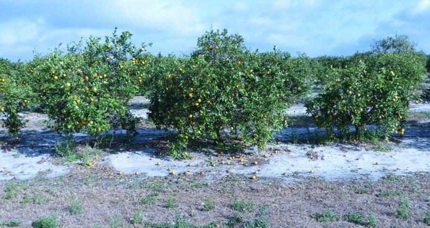 Safra de laranja da Flórida deve ser de 60,5 milhões de caixas, segundo Steger