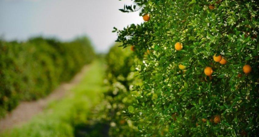 Safra de laranja da Flórida é reestimada em 68,5 milhões de caixas