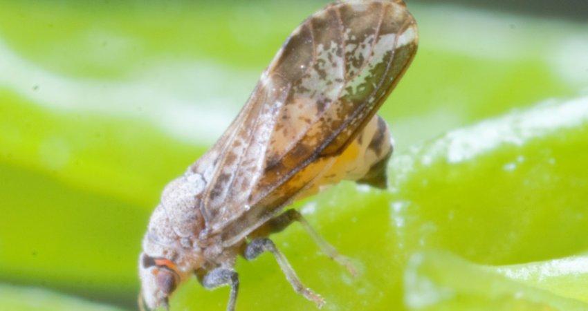 UFSCar e Fundecitrus desenvolvem estudos na área de repelentes naturais para controle do inseto transmissor do greening