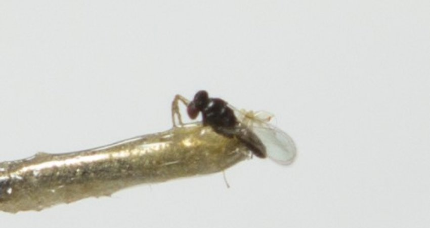 Fundecitrus liberou 1,4 milhão de vespinhas para controle do psilídeo desde que biofábrica foi inaugurada