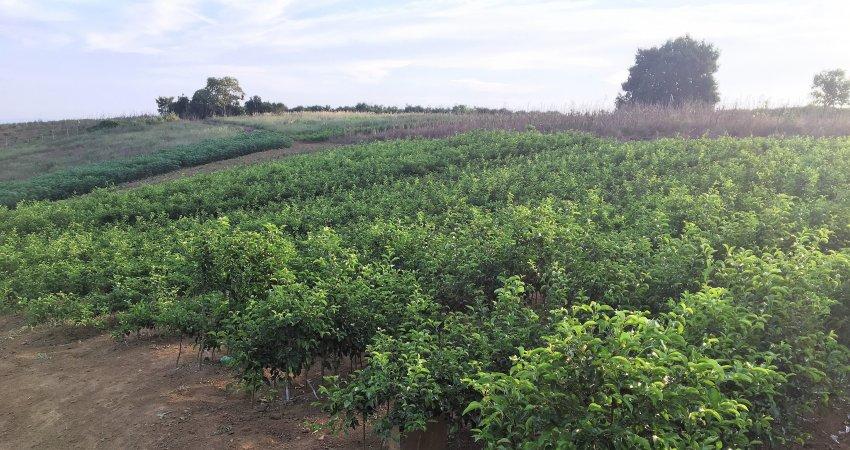 Pesquisadores do Fundecitrus conhecem a citricultura da Bahia