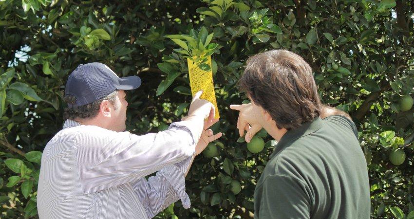 Alerta Fitossanitário incentiva manejo regional e uso da tecnologia na citricultura