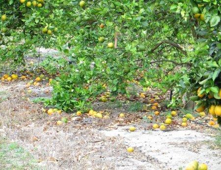 Safra de laranja na Flórida deve ser de 104 milhões de caixas