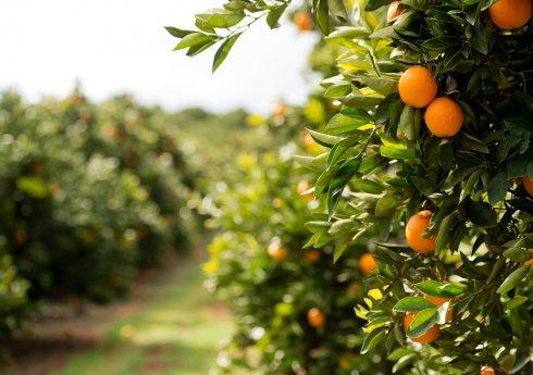Austrália tem 28 mil hectares de citros