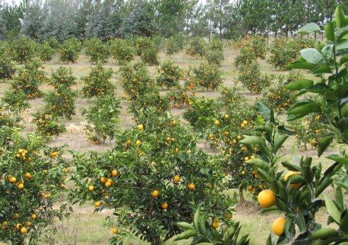 Pesquisadores do Fundecitrus visitam a citricultura do Rio Grande do Sul