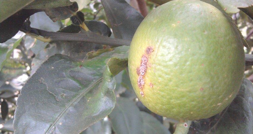 Produtores de limão se unem para regular o setor contra o cancro cítrico