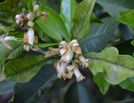 Fundecitrus disponibiliza sistema online de previsão de podridão floral