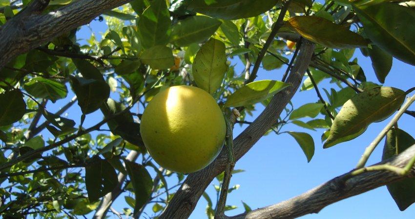 Manejo externo aumenta eficiência no controle do greening