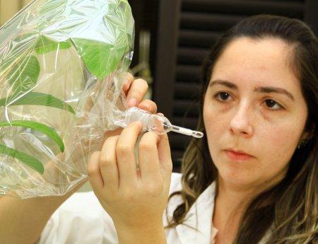 Pesquisadores querem usar odor da goiaba para repelir o psilídeo dos pomares de laranja