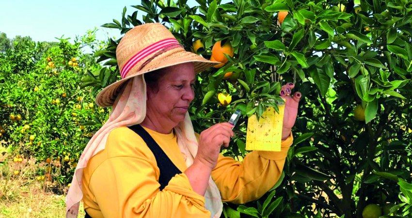 Manejo regional do greening será tema de encontro promovido pelo Fundecitrus em Duartina na próxima semana