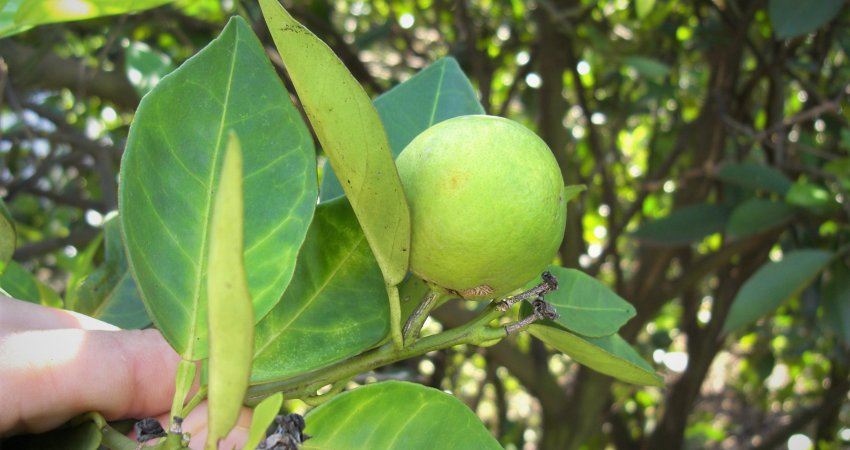 Fundecitrus inicia levantamento de incidência de HLB e CVC no parque citrícola