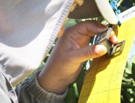 Monitoramento mostra população preocupante do inseto transmissor do greening