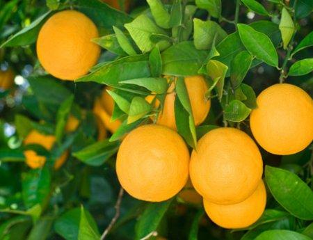 Safra da laranja deve ser de 278,9 milhões de caixas