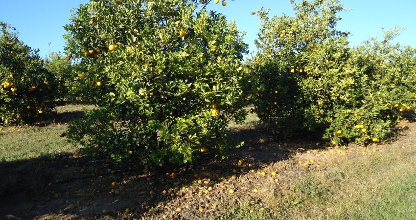Região de Duartina tem uma das mais altas incidências de greening do cinturão citrícola de SP e MG